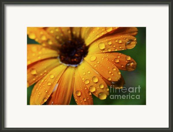 Rainy Day Daisy Framed Print By Thomas R Fletcher