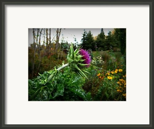 Reaching Milk Thistle Framed Print By Shirley Sirois