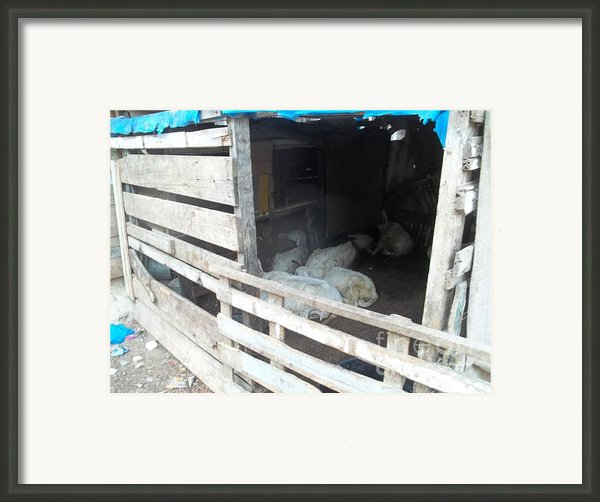 Reality Bites Goats Framed Print By Fania Simon