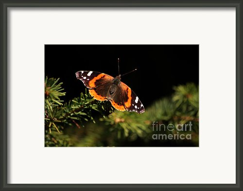Red Admiral Butterfly Framed Print By Marjorie Imbeau