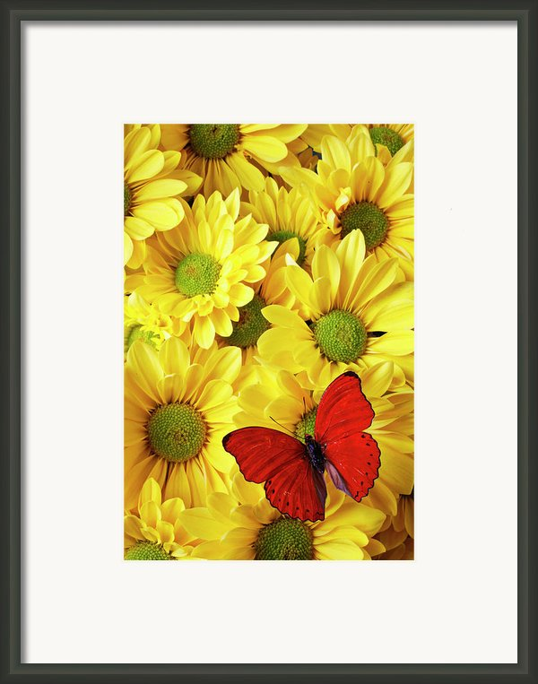 Red Butterfly On Yellow Mums Framed Print By Garry Gay