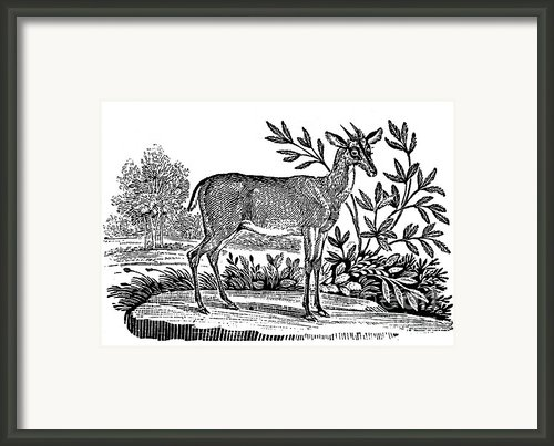 Red Deer Framed Print By Granger