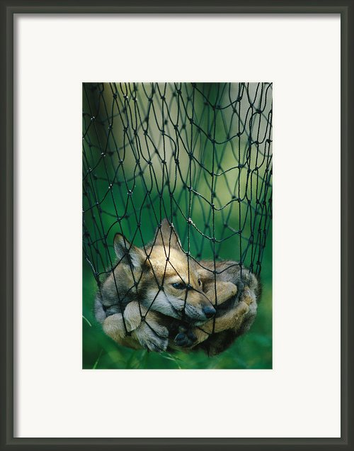 Red Fox Vulpes Vulpes In A Soft Trap Framed Print By Joel Sartore