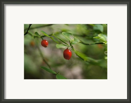 Red Huckleberry Framed Print By Angi Parks