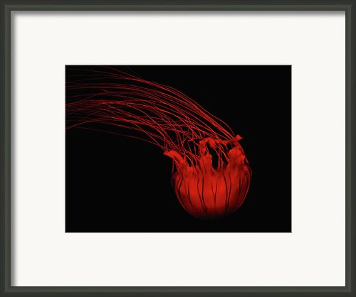 Red Jellyfish Framed Print By Denise Keegan Frawley