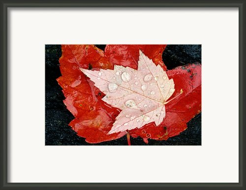 Red Maple Leaves Framed Print By Mike Grandmailson