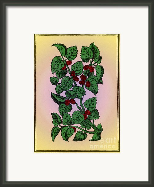 Red Mulberry Framed Print By Science Source
