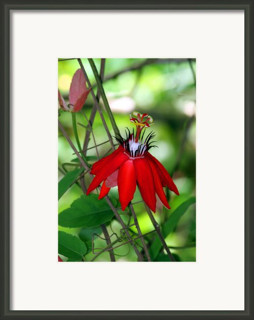 Red Passion Framed Print By Leo Miranda