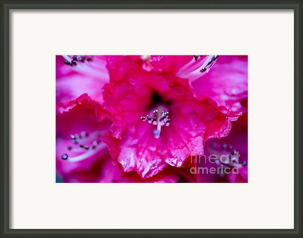 Red Rhododendron Framed Print By Frank Tschakert