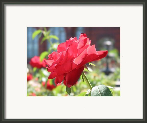 Red Rose Framed Print By Brian Mcdunn