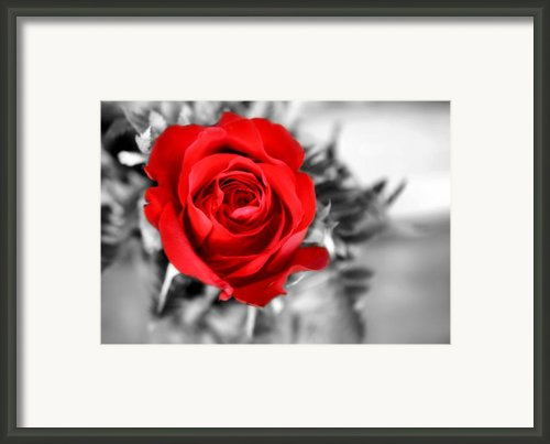 Red Rose Framed Print By Karen M Scovill