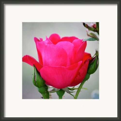 Red Rose Squared Framed Print By Teresa Mucha