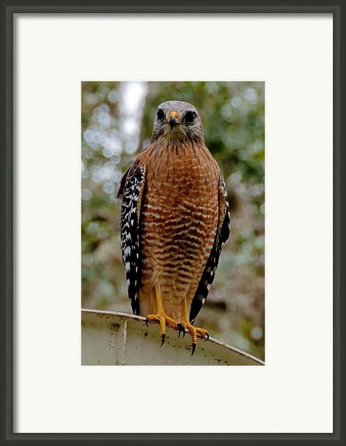 Red Shouldered Hawk Framed Print By John Black