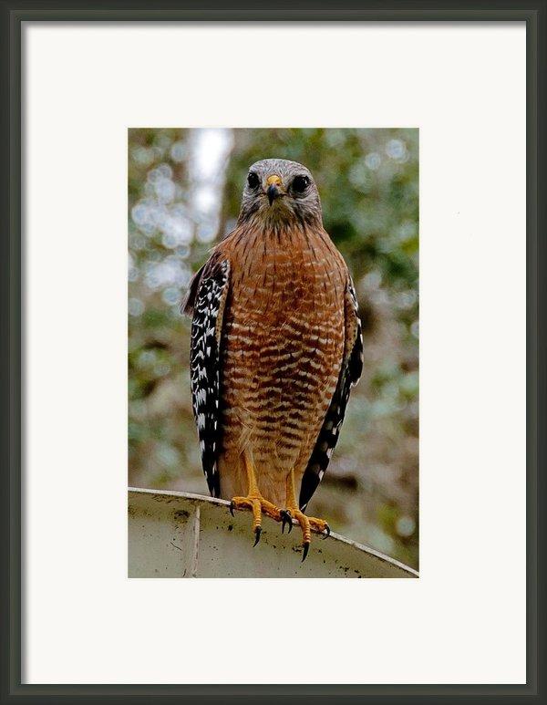 Red Shouldered Hawk Framed Print By John Black