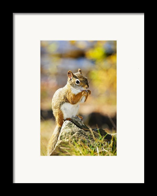 Red Squirrel Framed Print By Elena Elisseeva
