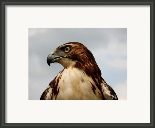 Red Tail Hawk 1 Framed Print By David Dunham