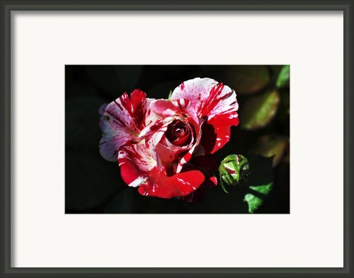Red Verigated Rose Framed Print By Clayton Bruster