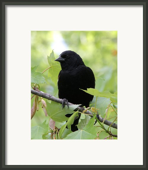 Red-winged Blackbird Framed Print By Doris Potter