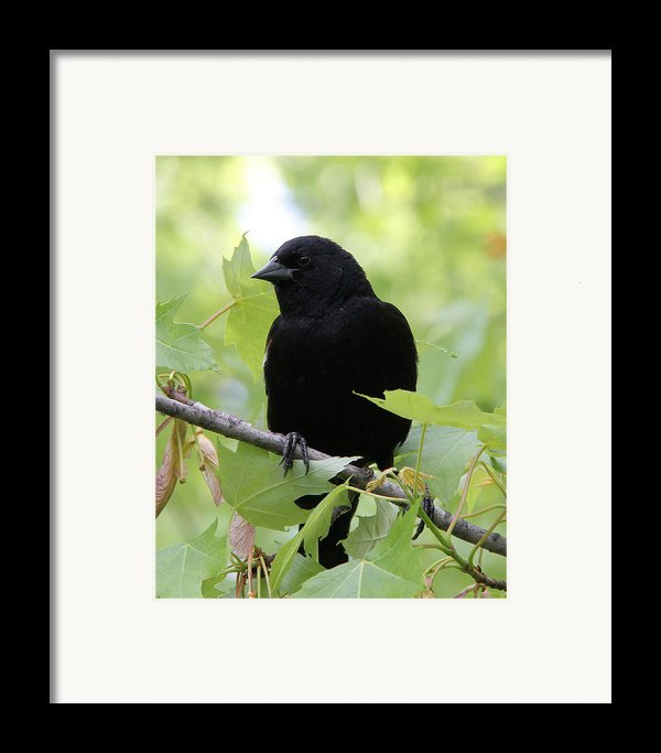 Red-winged Blackbird Framed Print By Doris Potter