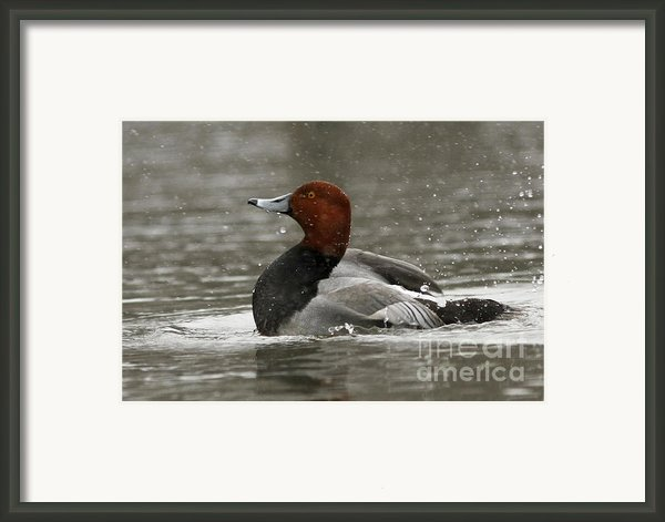 Redhead Duck Flapping Its Wings Framed Print By Inspired Nature Photography By Shelley Myke