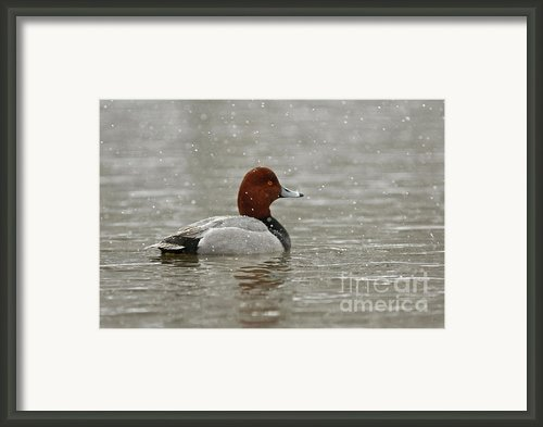 Redhead Duck In Winter Snow Storm Framed Print By Inspired Nature Photography By Shelley Myke