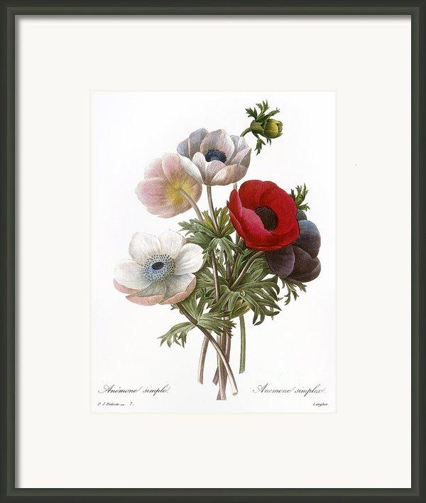 Redoute: Anemone, 1833 Framed Print By Granger