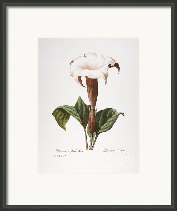 Redoute: Datura, 1833 Framed Print By Granger