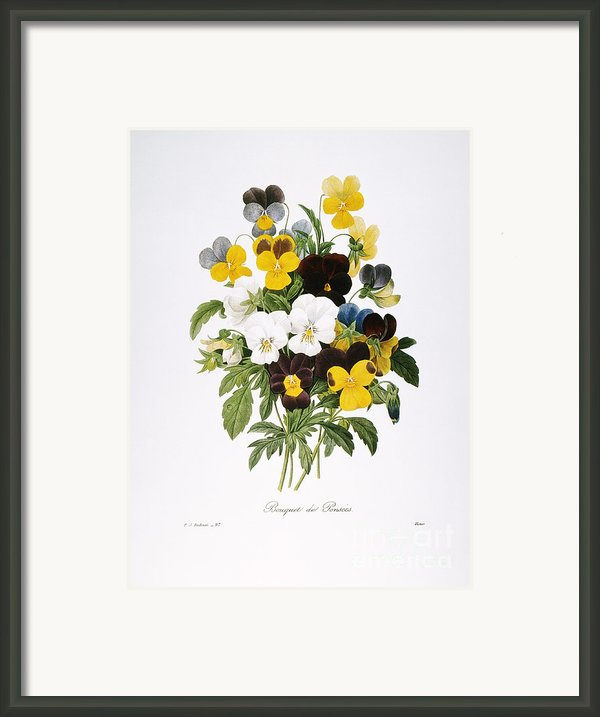 Redoute: Pansy, 1833 Framed Print By Granger