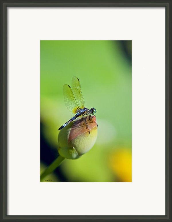 Resting On A Lily Framed Print By Lisa  Spencer