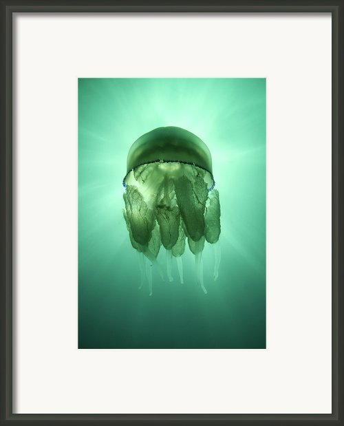 Rhizostoma Pulmo Jellyfish Framed Print By Underwater Photography By Ivan Bakardjiev