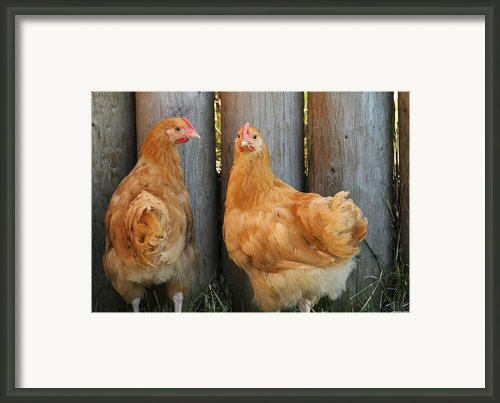 Rhode Island Red Framed Print By Kim French