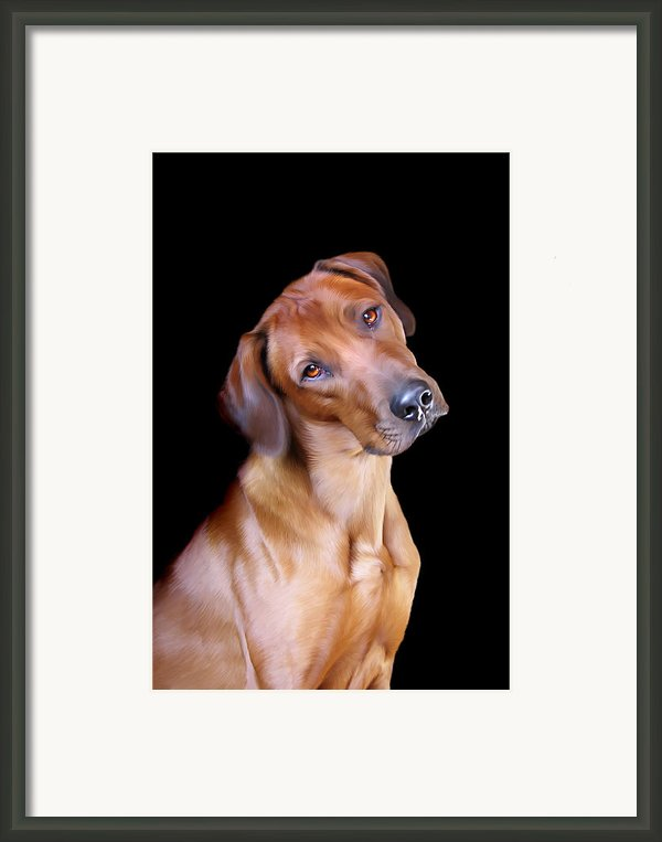 Rhodesian Ridgeback Framed Print By Julie L Hoddinott