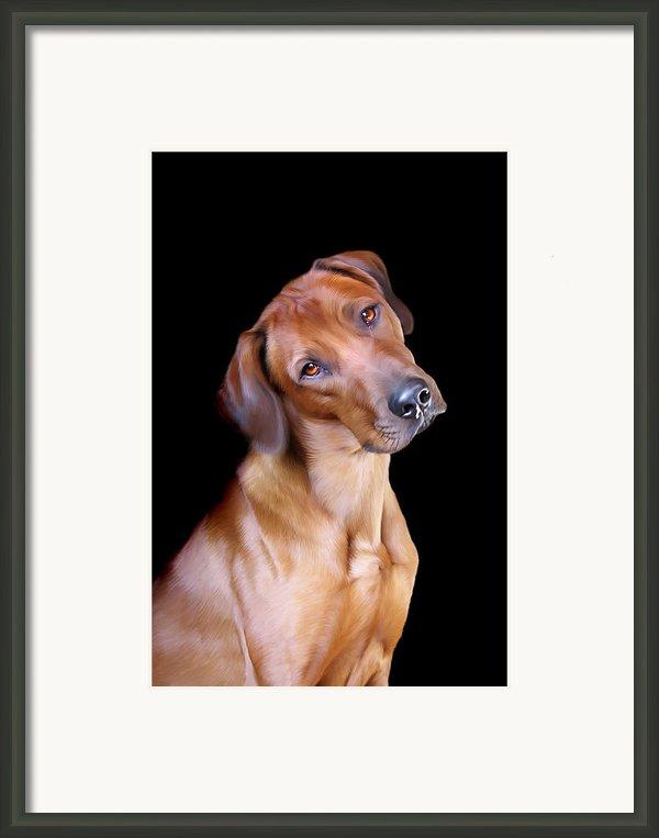Rhodesian Ridgeback Framed Print By Julie L Hoddinott