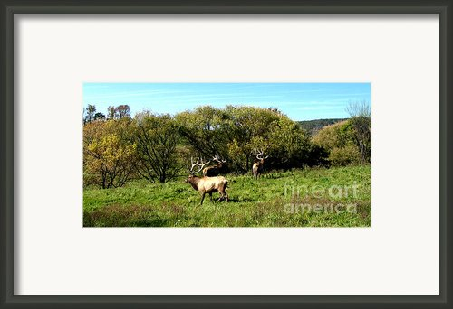 Roaming Elk  Framed Print By The Kepharts