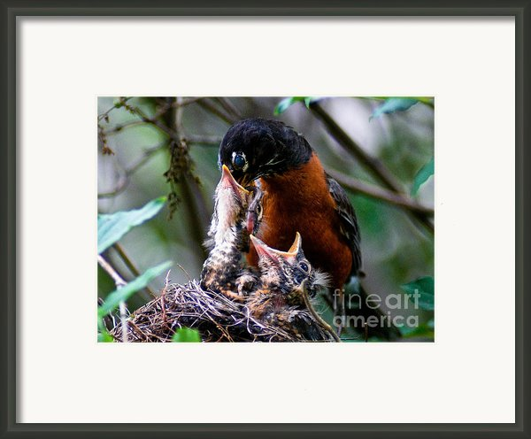 Robin Feeding Young 1 Framed Print By Terry Elniski