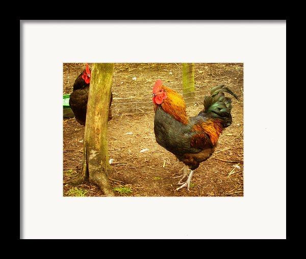 Rooster Farm Framed Print By Yvon Van Der Wijk