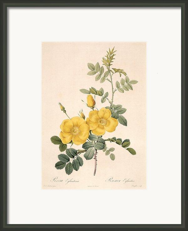 Rosa Eglanteria Framed Print By Pierre Joseph Redoute