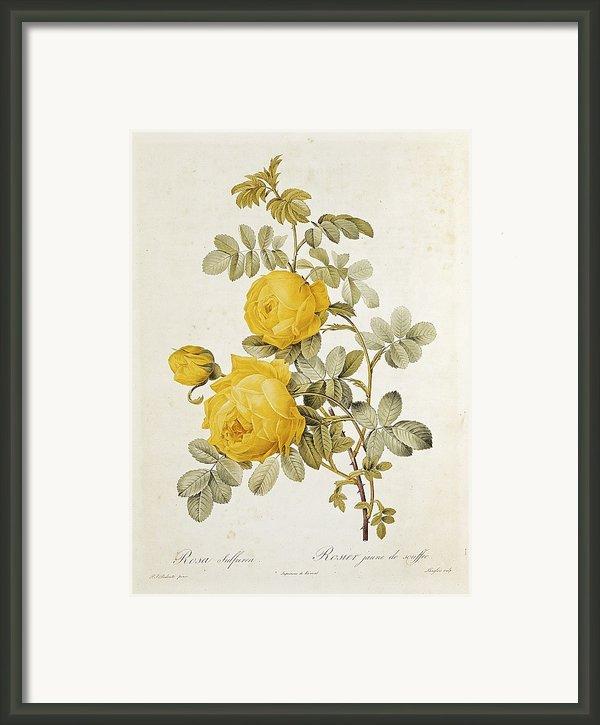 Rosa Sulfurea Framed Print By Pierre Redoute