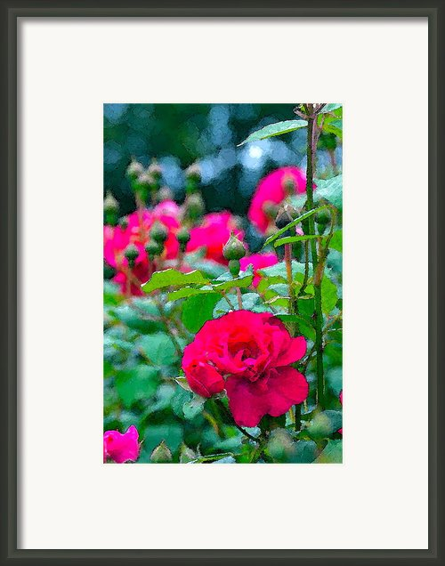 Rose 132 Framed Print By Pamela Cooper