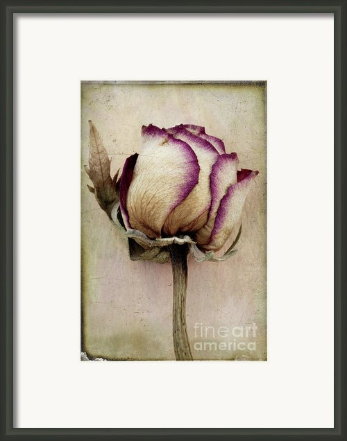 Rose 2 Framed Print By Marion Galt