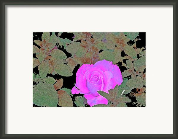 Rose 97 Framed Print By Pamela Cooper