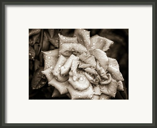 Rose After The Rain Framed Print By Amber Flowers