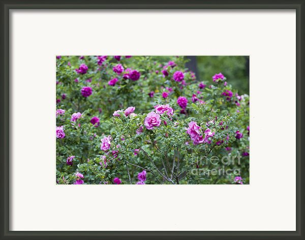 Rose Garden Framed Print By Frank Tschakert