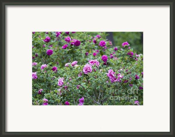 Rose Garden Framed Print By Frank Tschakert