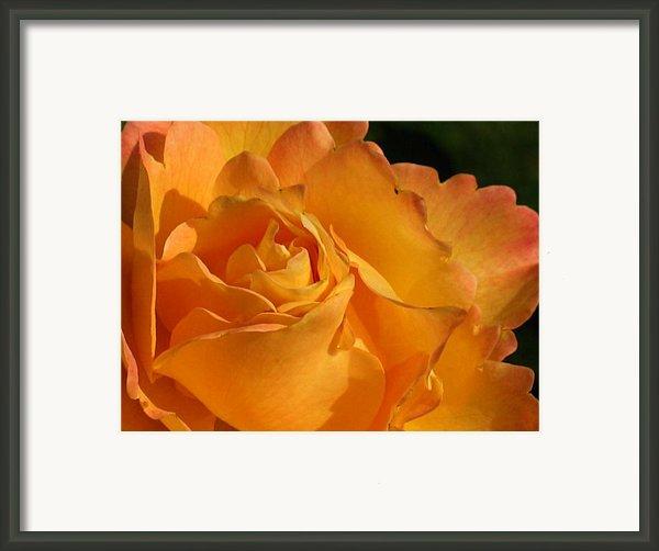 Rose In Ruffles Framed Print By Mg Rhoades