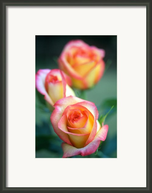 Rose Trio Framed Print By Kathy Yates
