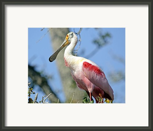 Roseate Spoonbill Framed Print By Kenneth Albin