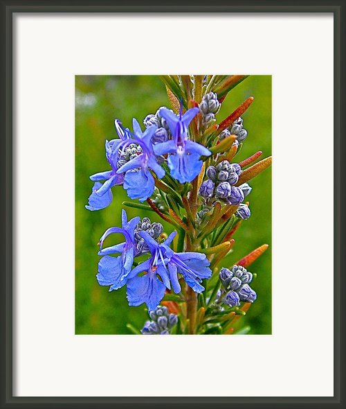Rosemary In Skp Park Sierra Framed Print By Ruth Hager