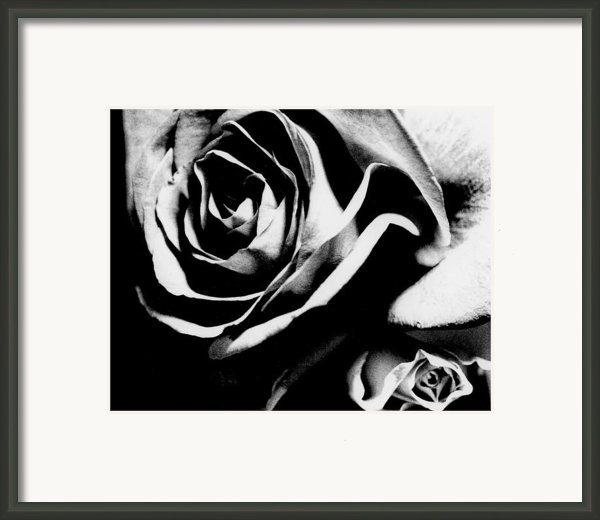 Roses Study 1 Framed Print By Lisa  Spencer