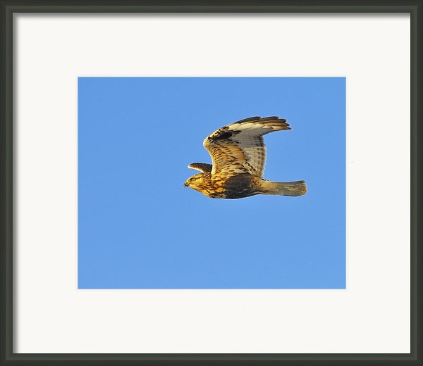Rough-legged Hawk Framed Print By Tony Beck